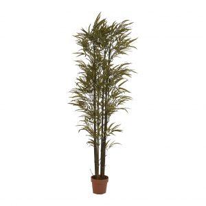 Planta phoenix bamboo