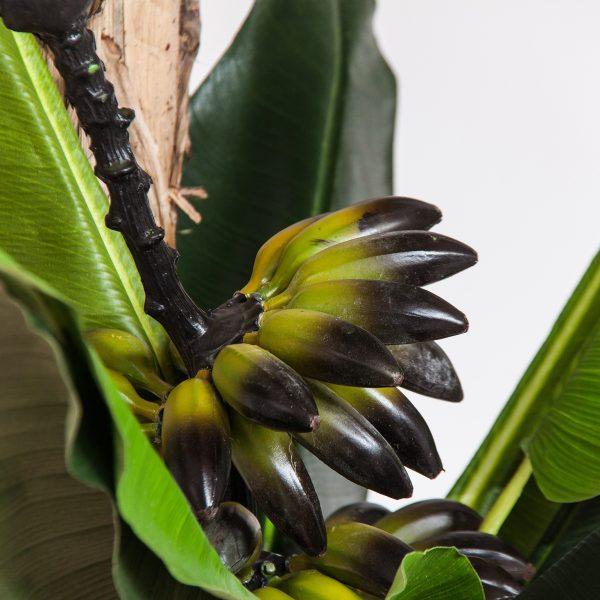 Planta platanero