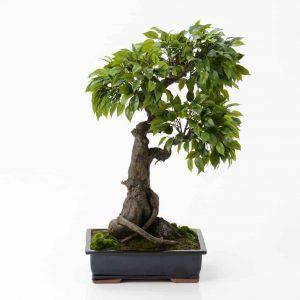 Bonsai ficus tachiki